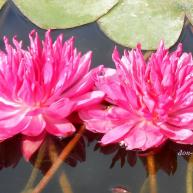 Fuchsia Pom Pom (№30)