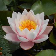 Marliacea Rosea (№10)