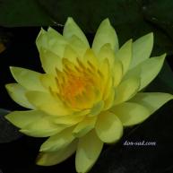 Yellow Queen (№46)